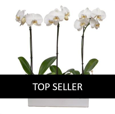 fresh funeral orchid plant