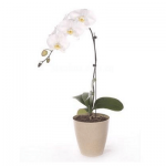 Single stalk orchid funeral plant