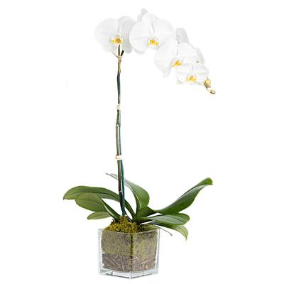 white orchid live plant
